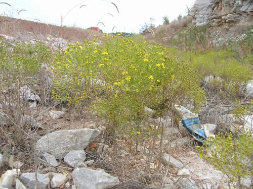 Common Broomweed