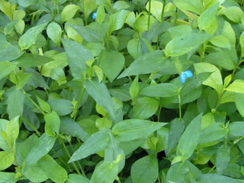 Creeping Ground Cover Plants