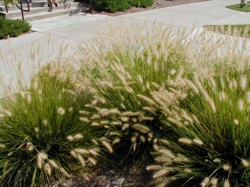 Dwarf fountain grass for Dwarf grasses perennials
