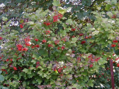 European Cranberrybush Viburnum