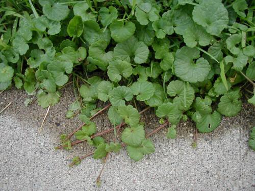 Creeping Jenny Lawn Ground Ivy