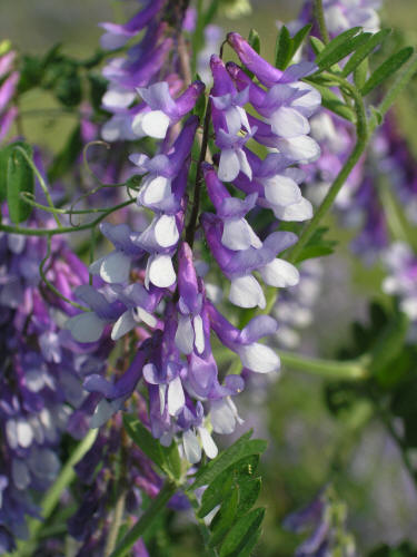 When to plant hairy vetch