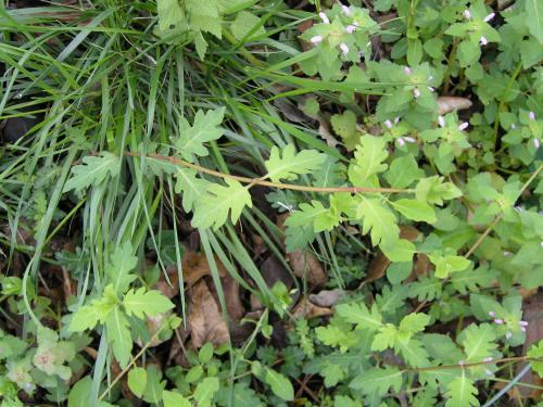 honeysuckle rose grille