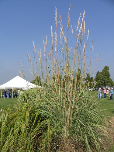 Plume grass for Tall grass with plumes