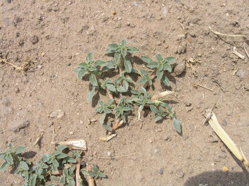 Prostrate Pigweed http://courses.missouristate.edu/pbtrewatha/prostrate_pigweed.htm