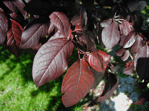Purpleleaf Plum