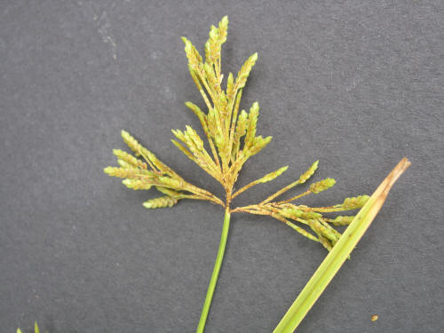 Rice Flatsedge