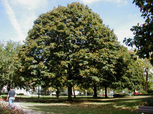 Mature black maple