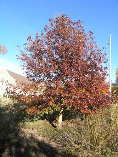 Swamp Chestnut Oak