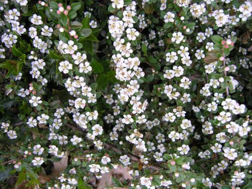 Flowering Shrub Flowers