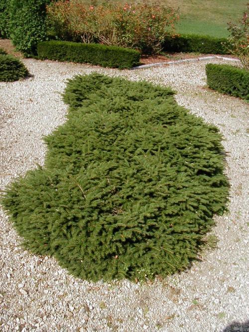 Birdnest Spruce