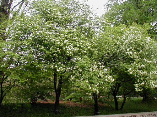 Blackhaw trees
