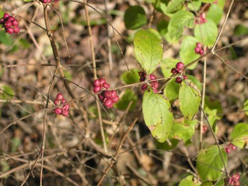 Buckbrush