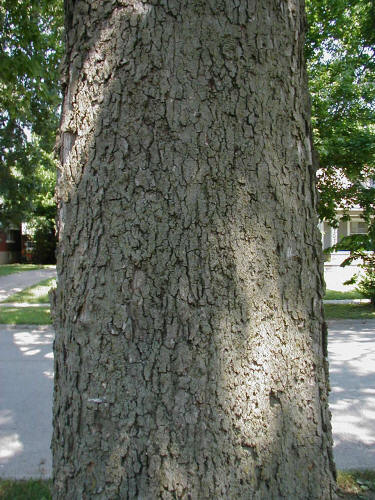 hackberry mature singles A mature hackberry tree- hardy and durable, this tree makes an excellent urban species small light green singular female and clusters of male flowers appear in spring female flowers give way to round, berry-like drupes containing single seeds.