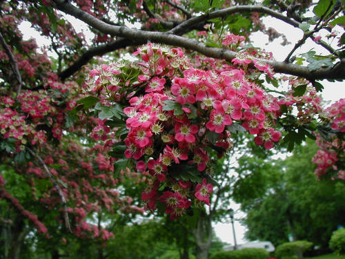 'Crimson Cloud' English Hawthorn