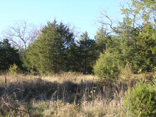 Eastern red cedar age mature