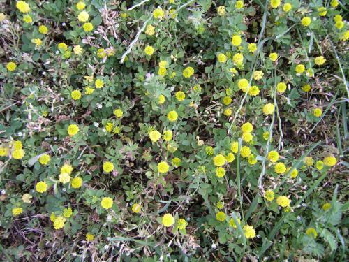Low hopclover flowering plants mightylinksfo