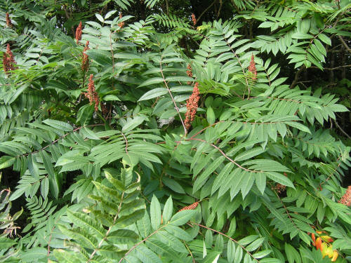 Pictures of flowers: smooth sumac