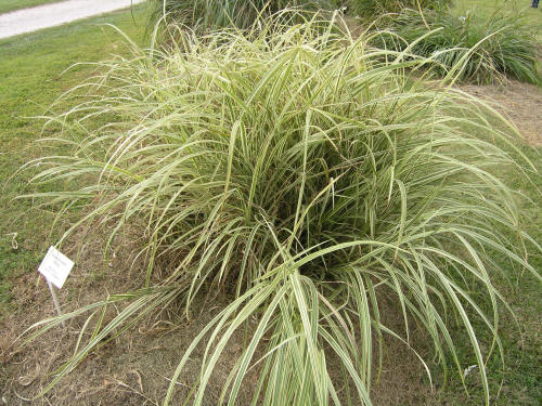 Variegated maiden grass for Variegated grass plant