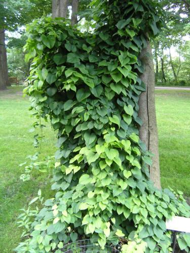 bulvit-wild-yam-plant