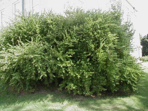 Lonicera japonica winter