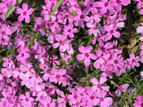 The Evergreen State >> Creeping Phlox